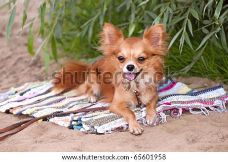Chihuahua dog relaxing on the beach - stock photo