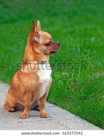 Chihuahua dog sitting on a background of green grass and looks i - stock photo