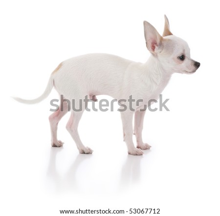 Chihuahua Dog Turned to the side
