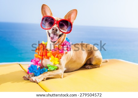 chihuahua dog under the shadow of a palm tree relaxing and resting in summer vacation holidays - stock photo