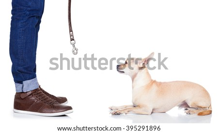 chihuahua dog waiting for a walk with owner with leash , begging   , isolated on white background - stock photo