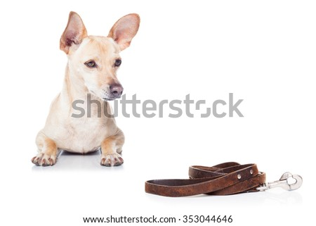 chihuahua dog waiting for a walk with owner, with leather leash - stock photo
