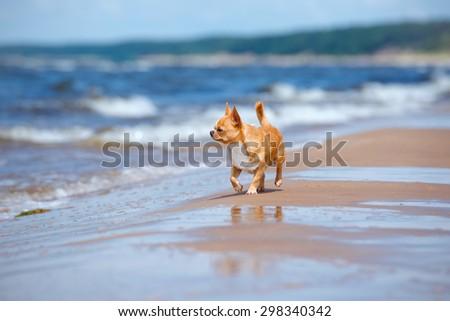 chihuahua dog walking on the beach - stock photo