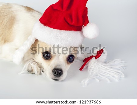 Chihuahua dog wearing Santa  hat with pigtails and bow close-up on white background - stock photo