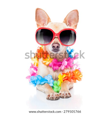 chihuahua dog with bags and luggage or baggage, ready for summer vacation holidays at the beach, isolated on white background