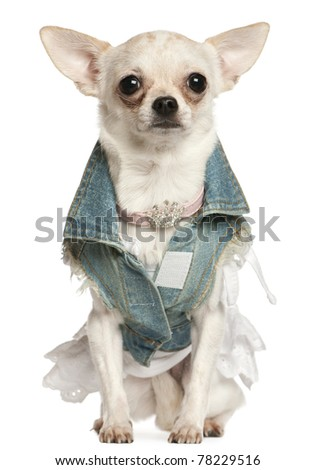 Chihuahua dressed in denim, 10 months old, sitting in front of white background - stock photo