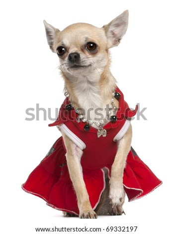 Chihuahua dressed in red dress and necklace sitting in front of white background - stock photo