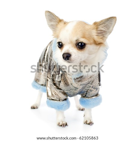 Chihuahua dressed in silver winter coat with blue artificial fur standing on white - stock photo