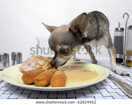 Chihuahua eating food from plate on dinner table - stock photo