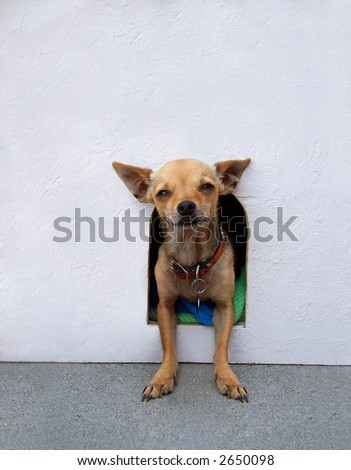 chihuahua in a dog house - stock photo