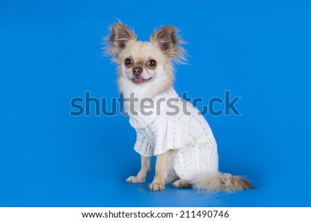 Chihuahua in a white sweater on a blue background  - stock photo