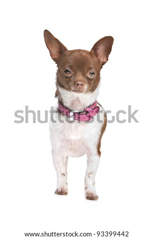 chihuahua in front of a white background brown and white short haired chihuahua