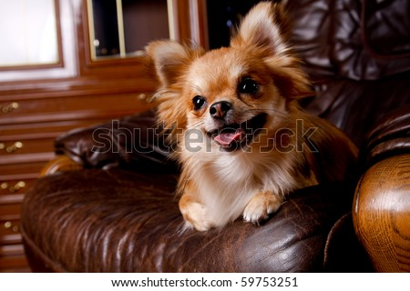 Chihuahua in room - stock photo