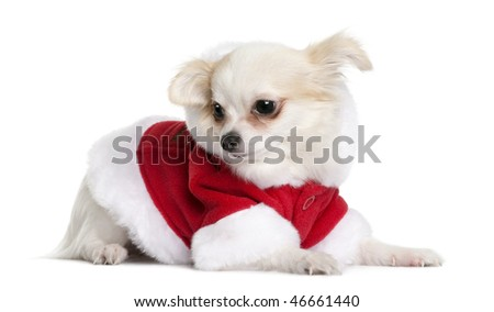 Chihuahua in Santa Claus suit, 7 months old, sitting in front of white background - stock photo
