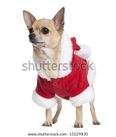 Chihuahua in Santa coat, 6 years old, standing in front of white background - stock photo