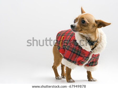 Chihuahua  in Santa costume over white background - stock photo