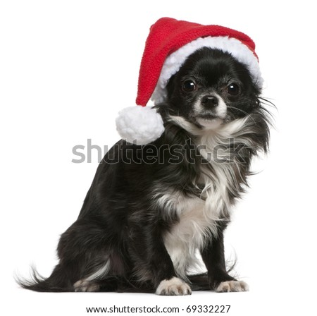 Chihuahua in Santa hat, 18 months old, sitting in front of white background - stock photo