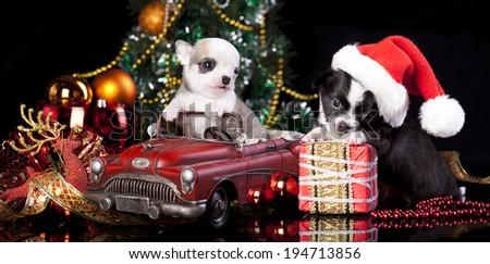 Chihuahua in Santa hats - stock photo