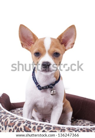 chihuahua in studio with white isolated background