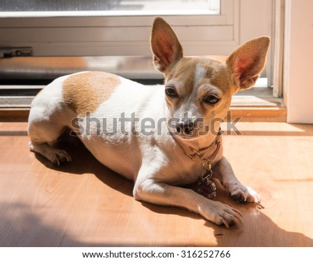Chihuahua in sunny doorway