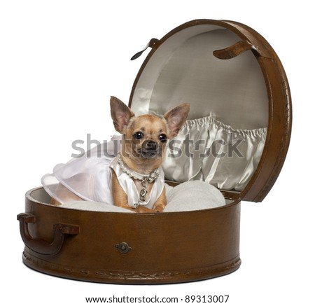 Chihuahua in wedding dress, 3 years old, sitting in round luggage in front of white background - stock photo
