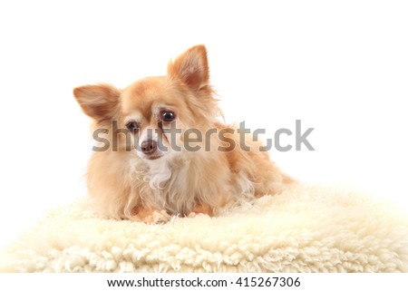chihuahua is resting on the white background - stock photo