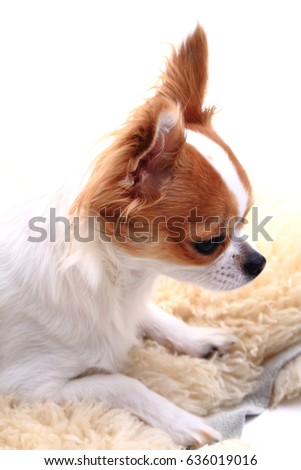 chihuahua is resting on the white background