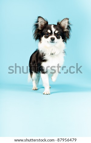 Chihuahua isolated on blue background. Long hair. Studio portrait. - stock photo