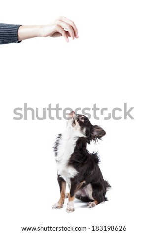 Chihuahua isolated on white background - stock photo