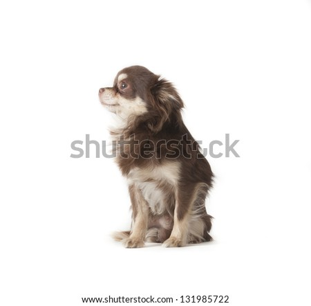 chihuahua laying on isolated background - stock photo