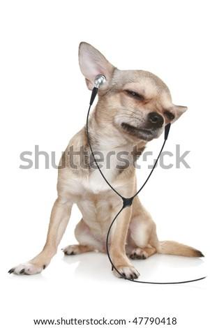 Chihuahua listening to music on headphones. - stock photo
