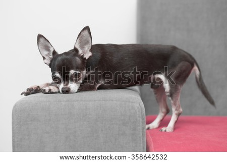 chihuahua lying and resting on grey sofa indoors - stock photo