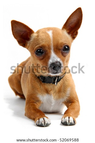 Chihuahua lying down in the studio, isolated on white - stock photo