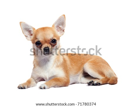 Chihuahua lying, isolated on white background, studio shot.