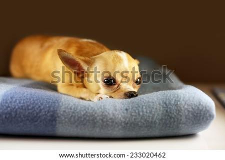 Chihuahua lying on blanket. Small dog falls asleep. Alone home. Friendly mini dog. - stock photo