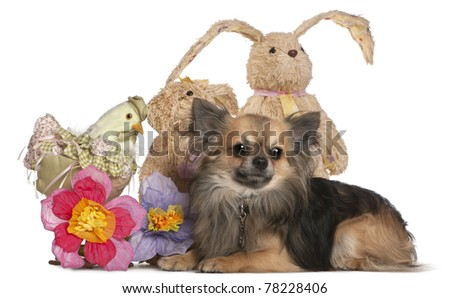 Chihuahua lying with Easter stuffed animals in front of white background - stock photo