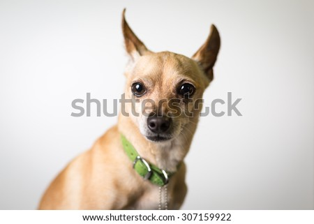Chihuahua mix dog portrait 2