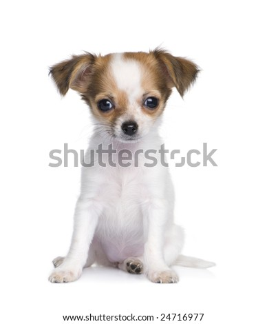 chihuahua (3 months) in front of a white background - stock photo