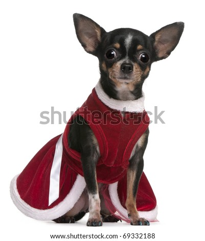 Chihuahua, 4 months old, dressed in Santa dress, sitting in front of white background - stock photo