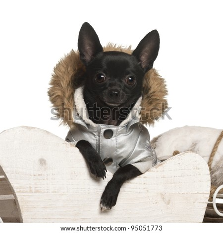 Chihuahua, 11 months old, in Christmas sleigh in front of white background - stock photo