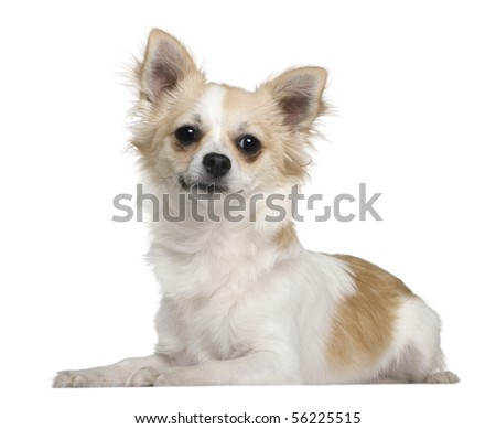 Chihuahua, 7 months old, lying in front of white background - stock photo