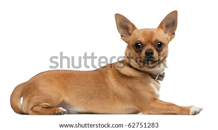 Chihuahua, 8 months old, lying in front of white background - stock photo
