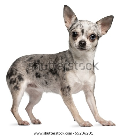 Chihuahua, 18 months old, standing in front of white background - stock photo