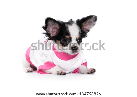 Chihuahua on a white background in clothes