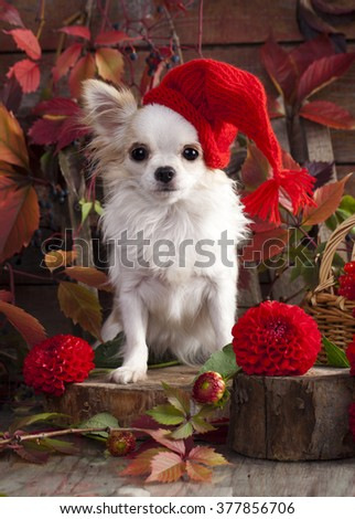 Chihuahua on autumn background in gnome hat - stock photo