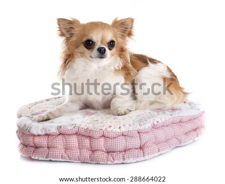 chihuahua on cushion in front of white background - stock photo