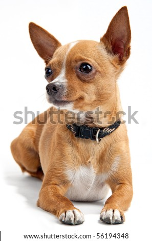 Chihuahua on the white background in the studio - stock photo