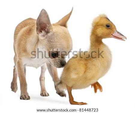 Chihuahua playing with a domestic duckling in front of white background - stock photo