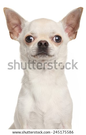Chihuahua. Portrait isolated on white background - stock photo