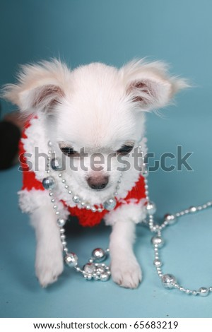 Chihuahua pup playing with xmas decoration colored background